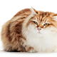 Siberian cat isolated on white background. Purebred - PhotoDune Item for Sale