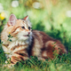 A kitten - Siberian cat playing in grass - PhotoDune Item for Sale