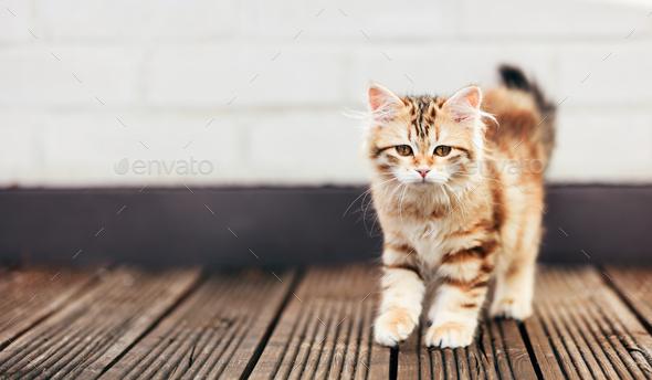 A kitten - Siberian cat walking on wooden terrace - Stock Photo - Images