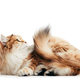 Siberian cat isolated, looking up. Purebred - PhotoDune Item for Sale