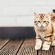 A kitten - Siberian cat walking on wooden terrace - PhotoDune Item for Sale