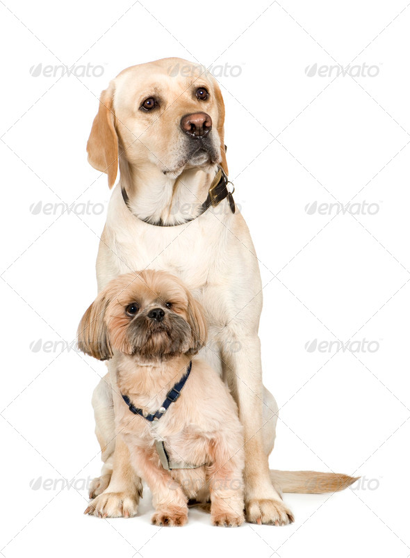 Lhasa Apso and a labrador - Stock Photo - Images