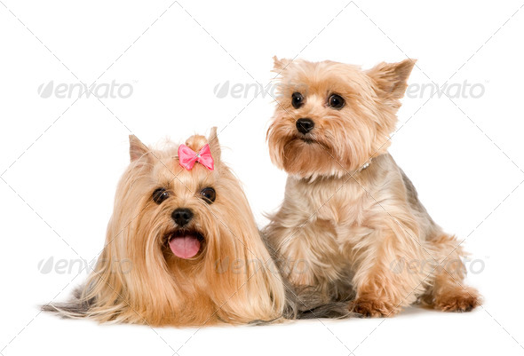 Couple of Yorkshire Terrier - Stock Photo - Images