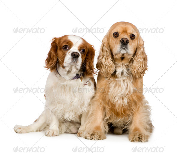 Cocker Spaniel (4 years) and a Cavalier King Charles Spaniel (4 years) - Stock Photo - Images