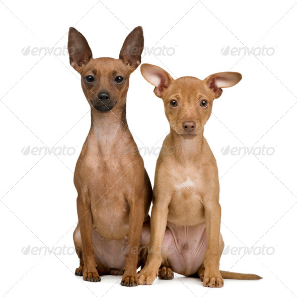 couple of miniature Pinscher () - Stock Photo - Images