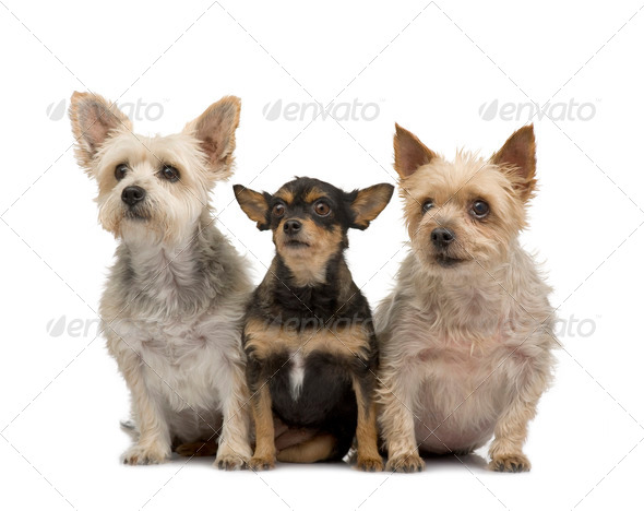 Yorkshire Terrier and chihuahua - Stock Photo - Images