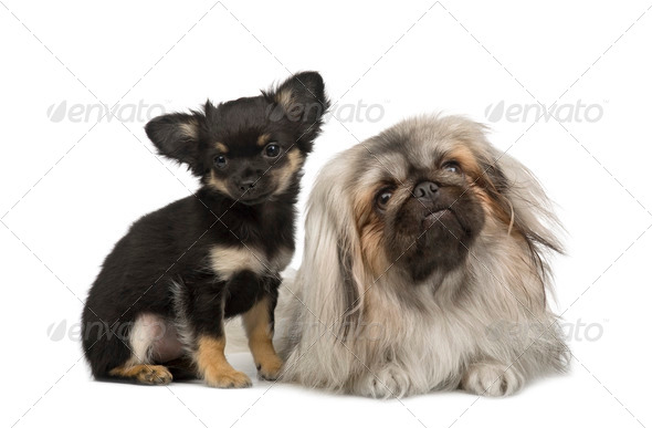 a Pekingese and a chihuahua - Stock Photo - Images