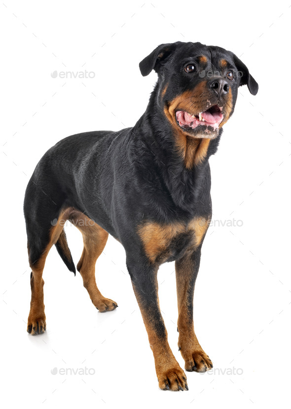 rottweiler in studio - Stock Photo - Images
