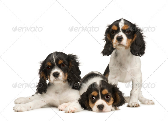 puppies Cavalier King Charles Spaniel (3 months) - Stock Photo - Images