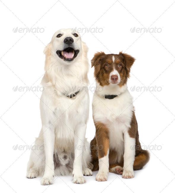 Puppy australian shepherd (5 months) and a golden retriever - Stock Photo - Images