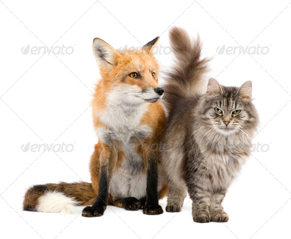 a Fox and a cat - Stock Photo - Images