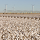 Texas Cotton Filed Textile Agriculture Green Energy Wind Turbines - PhotoDune Item for Sale