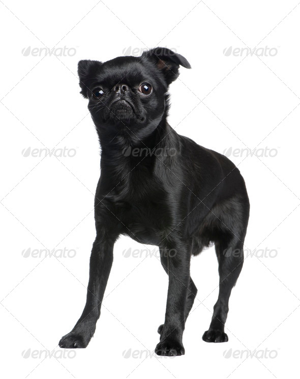 Griffon Bruxellois (1 years) - Stock Photo - Images