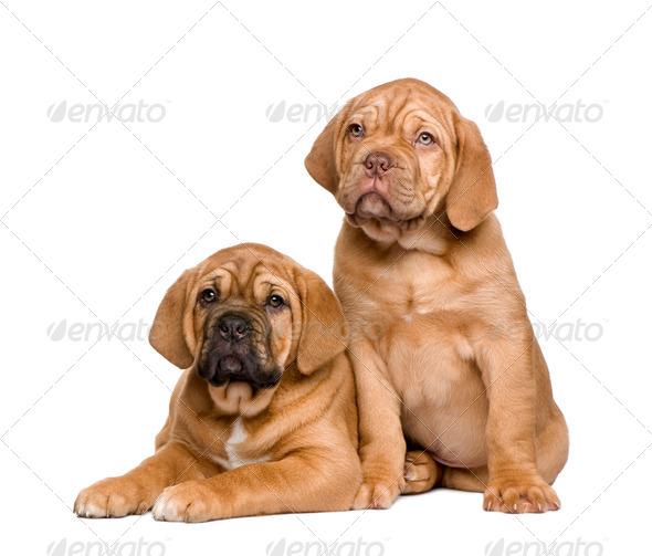 Two Dogue de Bordeaux puppies (2 months) - Stock Photo - Images