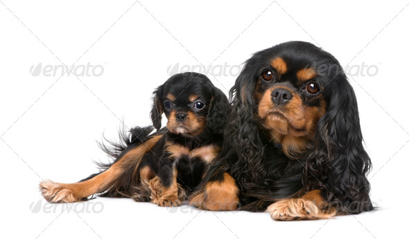Cavalier King Charles mother and pup - Stock Photo - Images