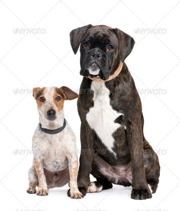 couple of a Boxer and a crossbreed dog - Stock Photo - Images