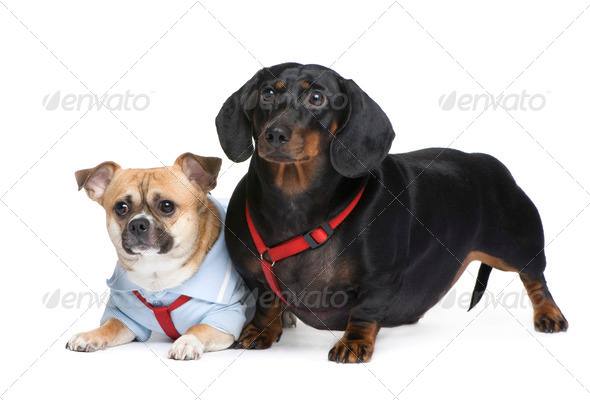 couple of a Dachshund and a crossbreed - Stock Photo - Images