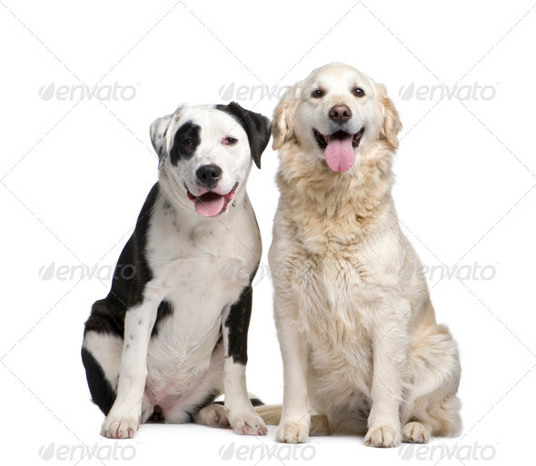 couple of a Mixed-Breed Dog and a labrador golden retriever - Stock Photo - Images