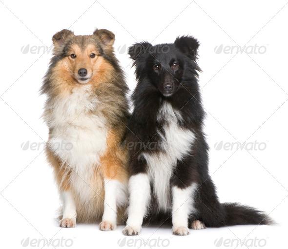 couple of shelties - Stock Photo - Images