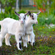 Two white baby goats standing on green lawn - PhotoDune Item for Sale