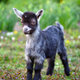 A cute baby goat standing on green lawn - PhotoDune Item for Sale