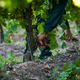 men cutting twigs in the vineyard with a trimmer - PhotoDune Item for Sale