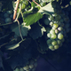 closeup of green white wine grapes in the vineyard - PhotoDune Item for Sale