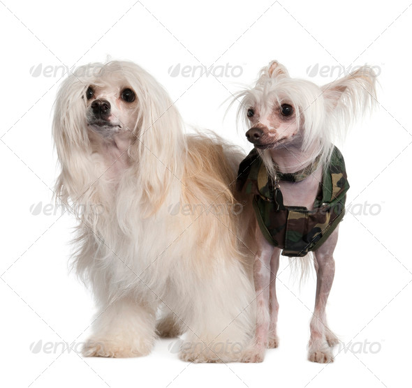 couple of a Chinese Crested Dog  Hairless and powderpuff - Stock Photo - Images