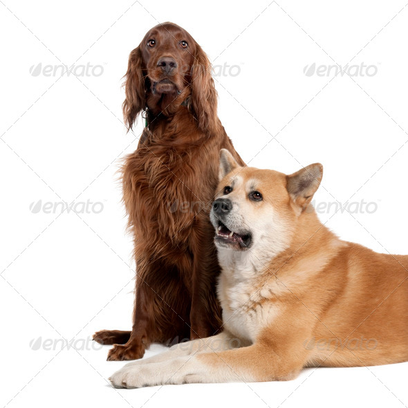 couple of a Irish Setter (3 years) and a akita inu (4years old) - Stock Photo - Images