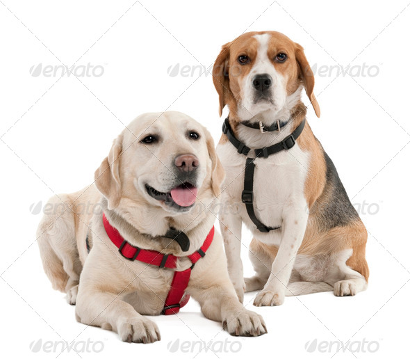 Couple of a Beagle and a labrador (4 and 2 years old) - Stock Photo - Images