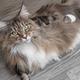 Cute Maine Coon cat - PhotoDune Item for Sale