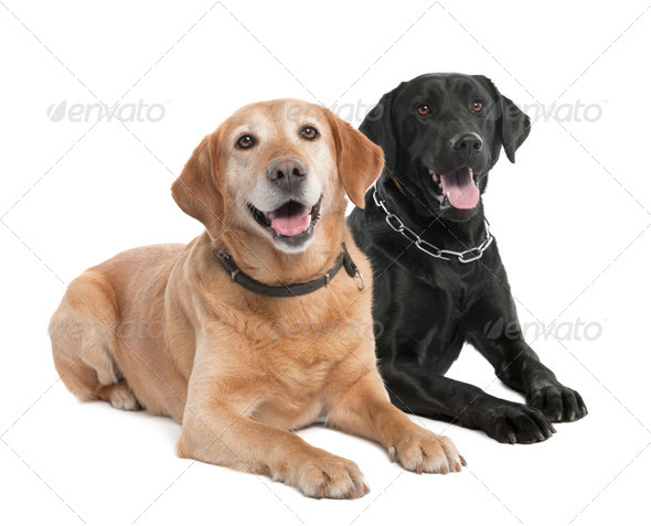 Couple of two Labradors (2 and 7 years old) - Stock Photo - Images