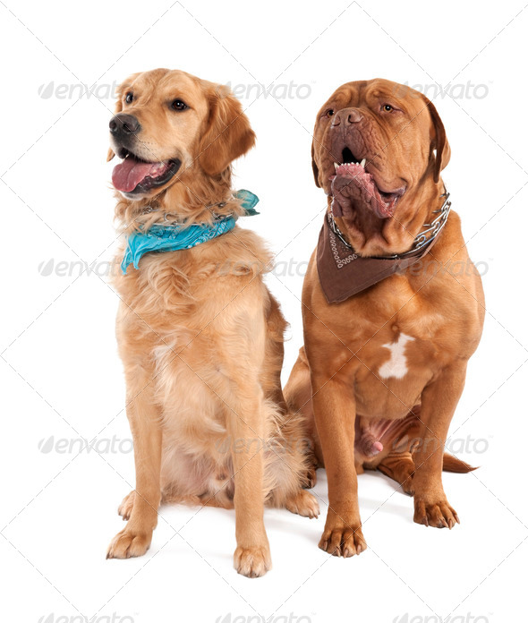 Couple of a Mastiff and a gloden retriever - Stock Photo - Images