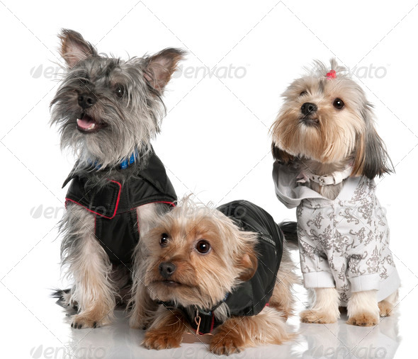 group of three Yorkshire Terrier (2 years old and 8 months) - Stock Photo - Images