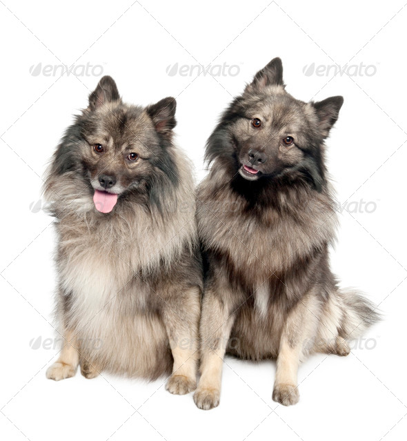 couple of two Keeshond (6 and 2 years old) - Stock Photo - Images