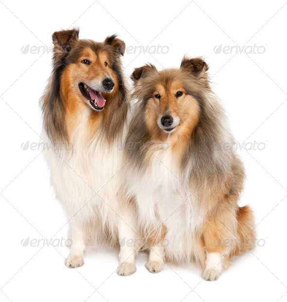 group of two shelties (5 and 6 years old) - Stock Photo - Images