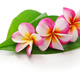 plumeria flowers and leaves isolated on white background - PhotoDune Item for Sale