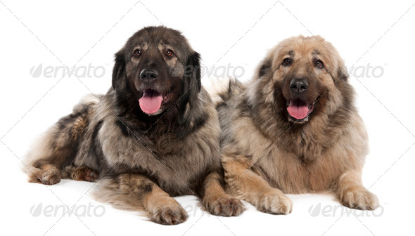 Yugoslav Shepherd Dog (7 years old) - Stock Photo - Images