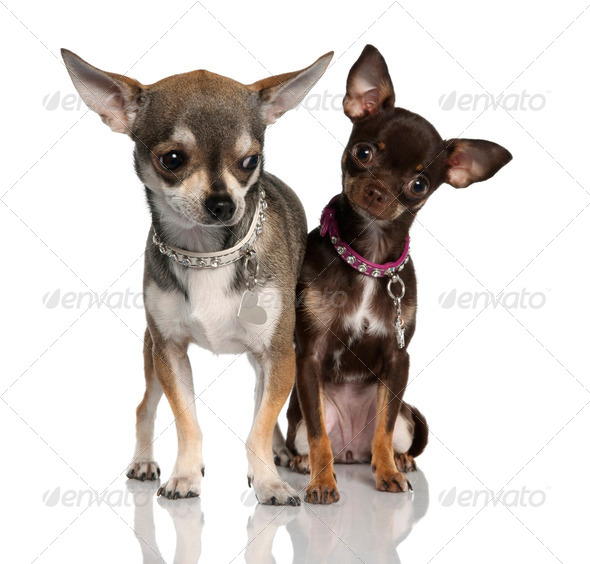 Couple of chihuahua (8 months and 19 months old) - Stock Photo - Images