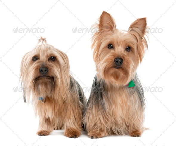 Couple of Yorkshire Terrier (2 years and 5 years old) - Stock Photo - Images