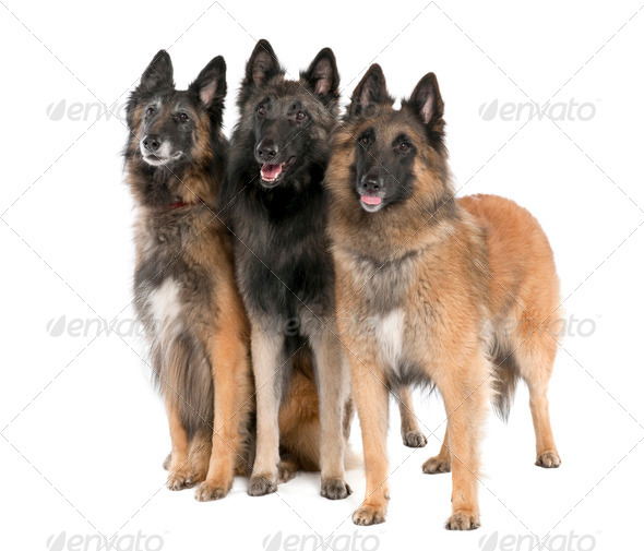 Belgian Tervuren ( 6, 3 and 2 years old) - Stock Photo - Images