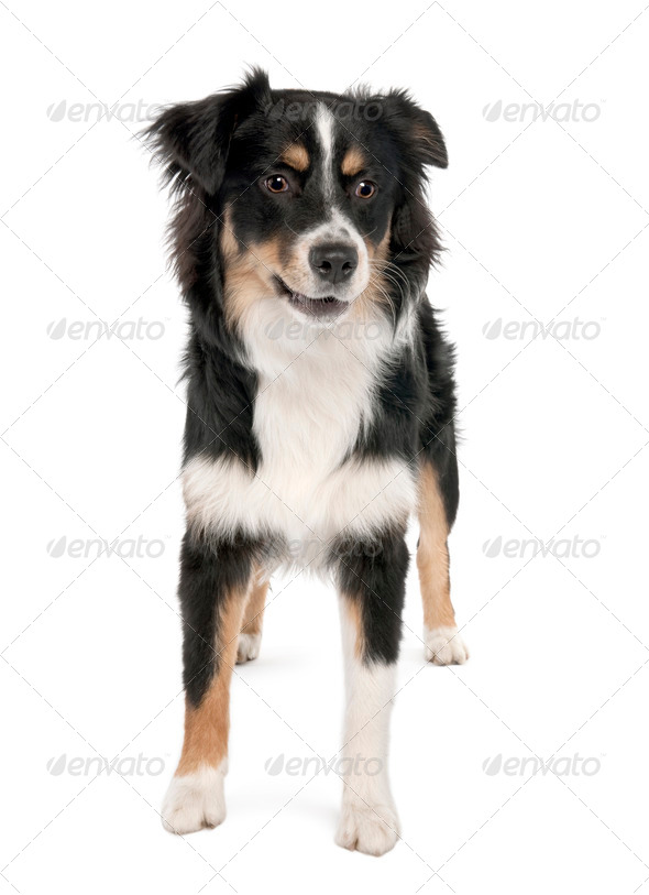 Puppy australian shepherd (7 months) - Stock Photo - Images
