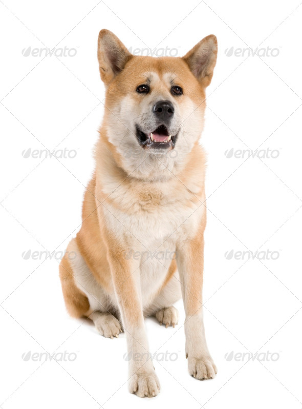 Akita inu (5 years old) - Stock Photo - Images