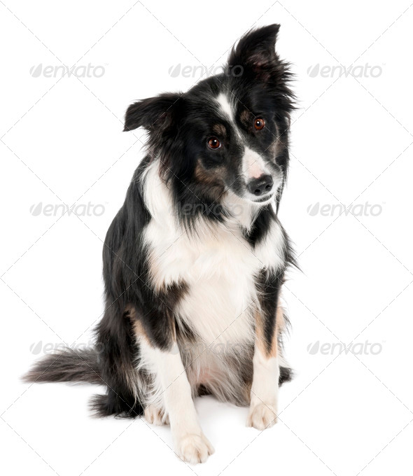 Border Collie (5 years old) - Stock Photo - Images