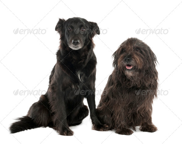 Couple of a Mixed-Breed Dog with a Border Collie and a Gos d'Atura (4 and 10 years old) - Stock Photo - Images