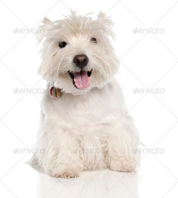 West Highland White Terrier (6 years old) - Stock Photo - Images