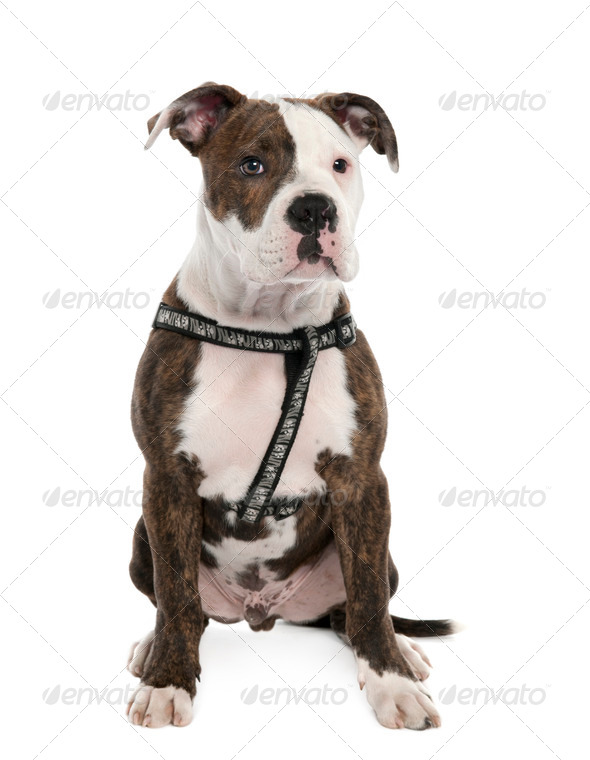 American Bulldog puppy (4 months old) - Stock Photo - Images