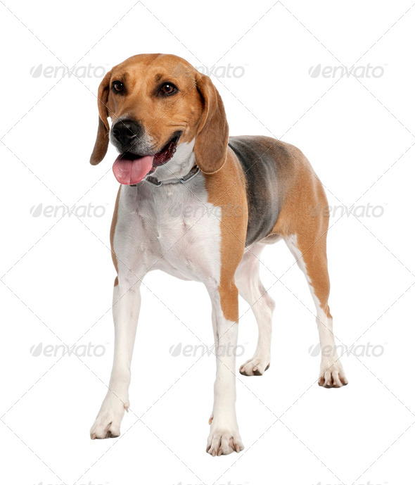 Mixed-Breed Dog with a beagle (5 years old) - Stock Photo - Images