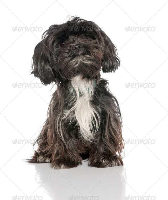 Mixed-Breed Dog between a yorkshire and a Lhasa Apso (2 years old) - Stock Photo - Images