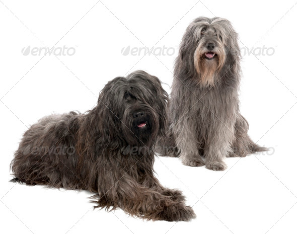 Catalan Sheepdog (6 and 3 years old) - Stock Photo - Images